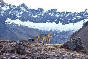 lobo en el altar