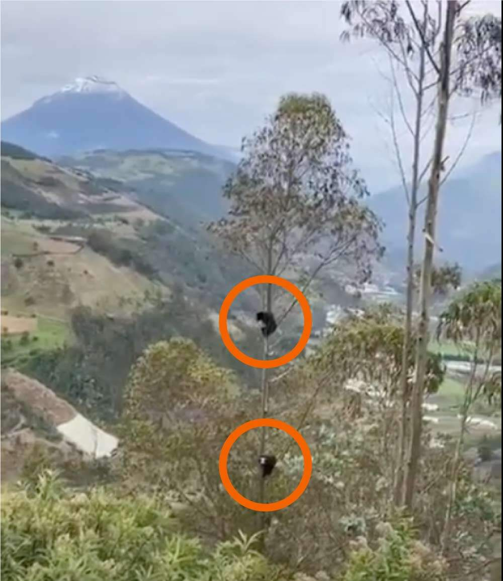 VIDEO: ESPECTACULAR, Osos de Anteojos captados frente al Tungurahua